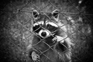 енот смотрит через забор