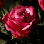 цветы розы из эквадора
